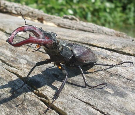 Stag beetle (Lucanus Cervus) from the area of the Danube River branches