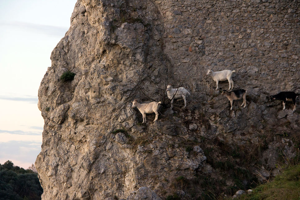 Goats on the Devin Castle.