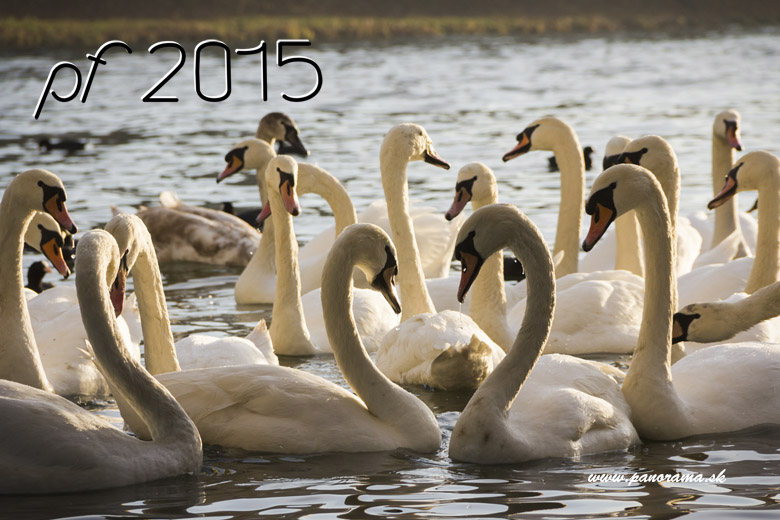 New Year Card , swans 2